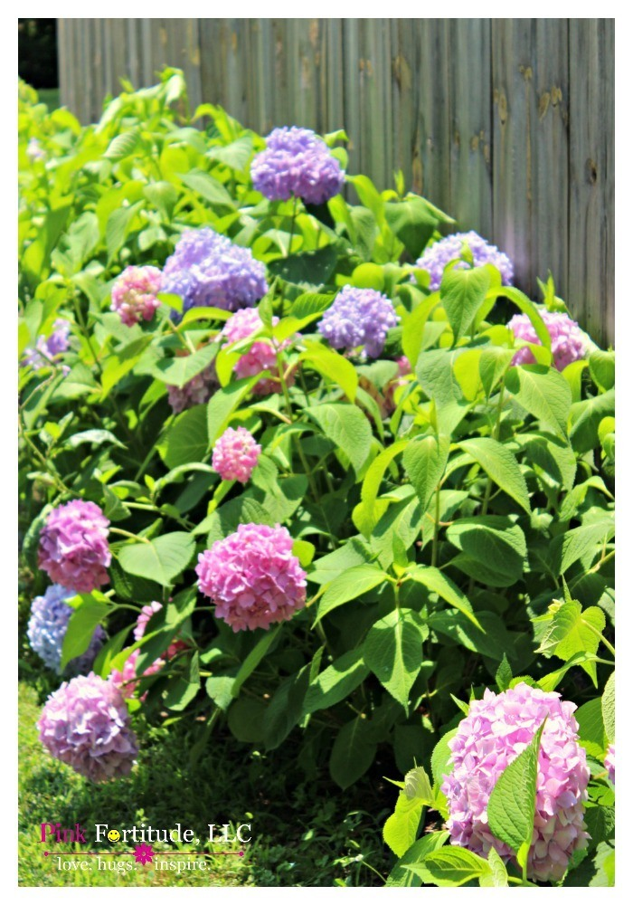 My dream was to have hydrangeas growing along the fence line of our property. This is year number three for them, and they keep getting bigger and more gorgeous each year. You are in for a treat with a lot of hydrangea love today!