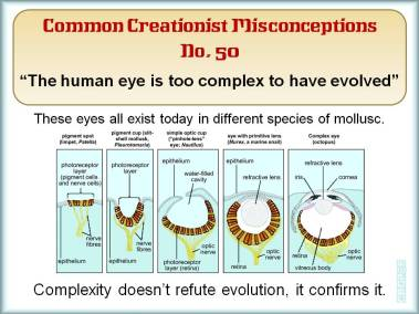 They human eye is too complex to have evolved.