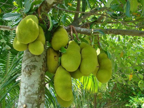 1024px-Jackfruit_Bangladesh_(3)