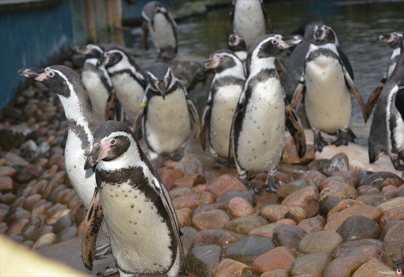 penguins at Twycross zoo