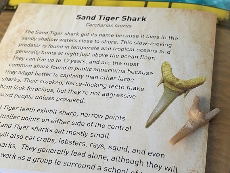 The National Geographic™ Dig Kits  Sand Tiger Shark Tooth