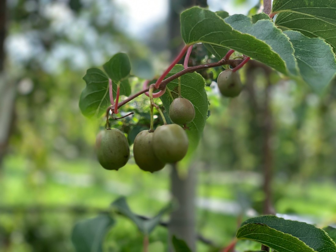 Kiwi Berries growing at Withers Fruit Farm - one of M&S' British Select Fruit Farms