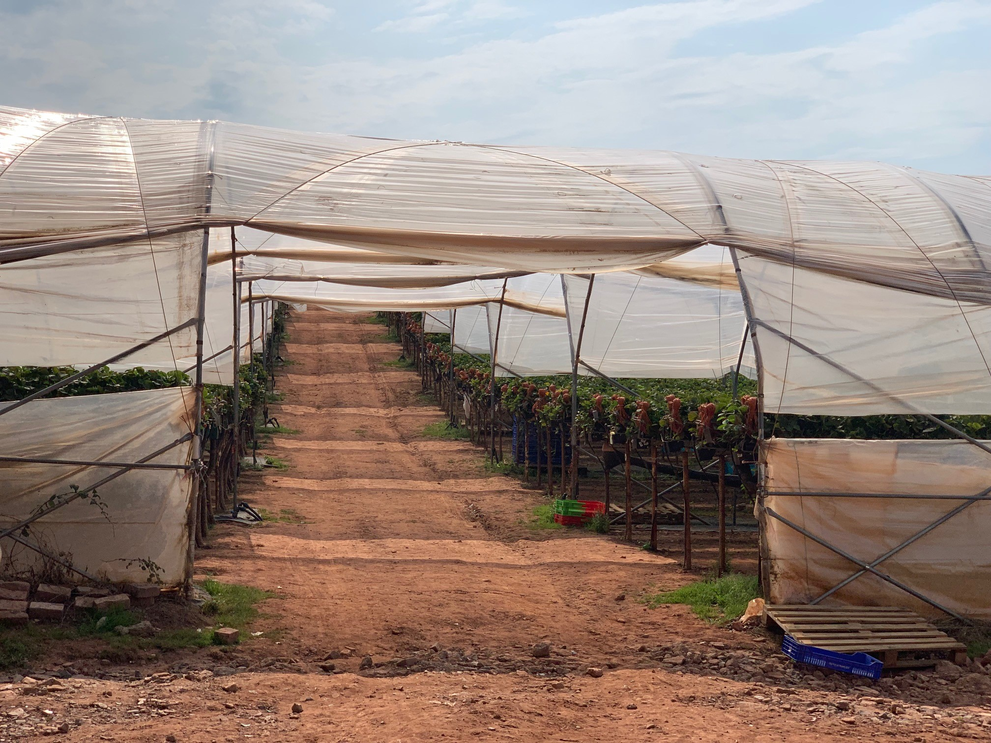Strawberry growing at Withers Fruit Farm one of M&S British Select Farms