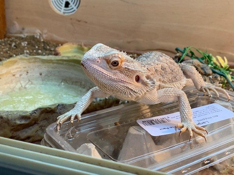 Bearded Dragon on box of hoppers