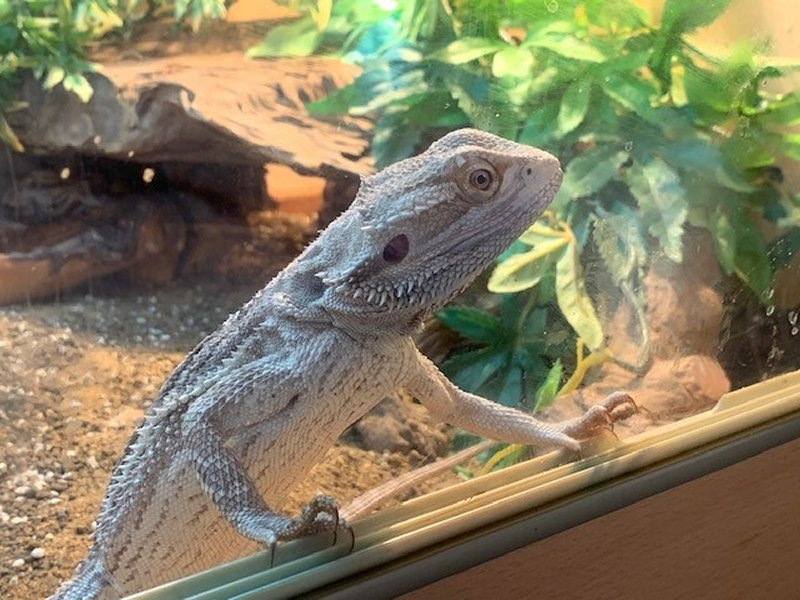 Bearded Dragon up the glass wanting to get out