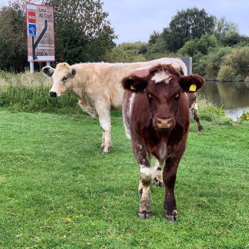 moody cows in a field by water