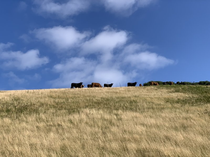 Down Farm Wild Camping cattle
