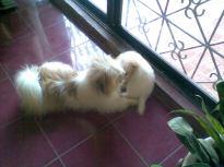 Shih-Poo stud Butchok and puppy Vanilla Bean