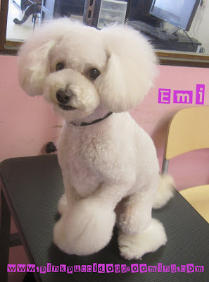 Toy Poodle Amp Maltipoo Grooming Examples Pink Pucci