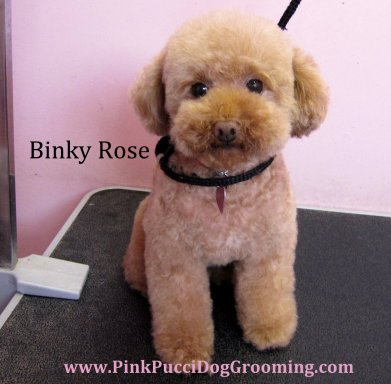 binky rose toy poodle