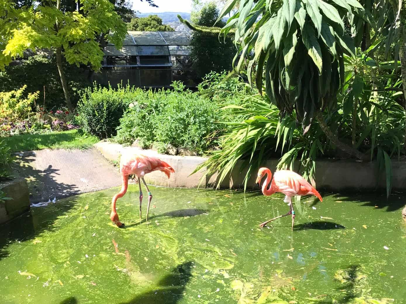 Flamingos at Paradise Park Wildlife Sanctuary