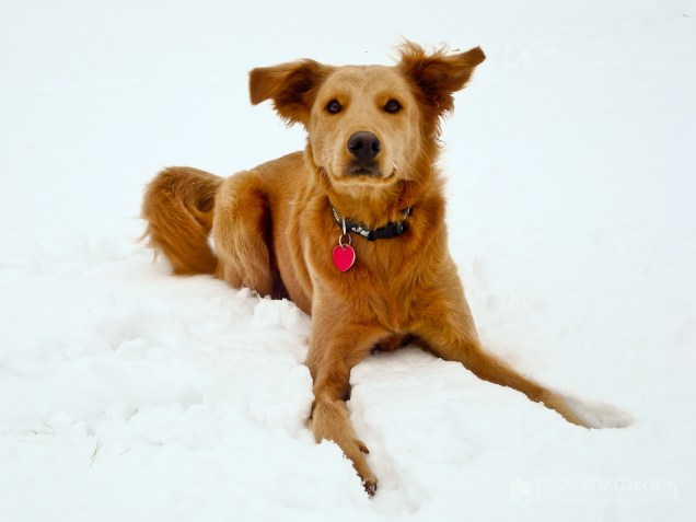 """""""Snowy Lucky"""" - Lucky's first experience with snow in upstate NY."""