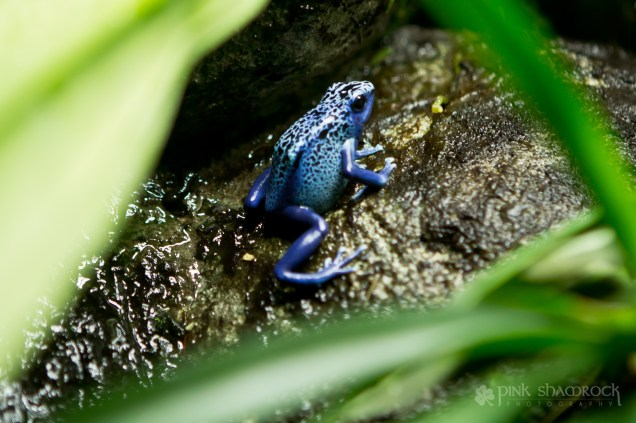 Poisonous dart frogs at the National Aquarium in Baltimore, Maryland.
