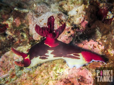 LOGO bold red cream blue nudibranch-5