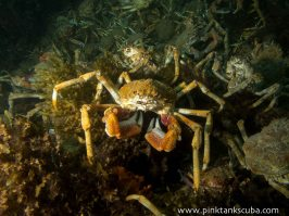 spider crab in the shadow round