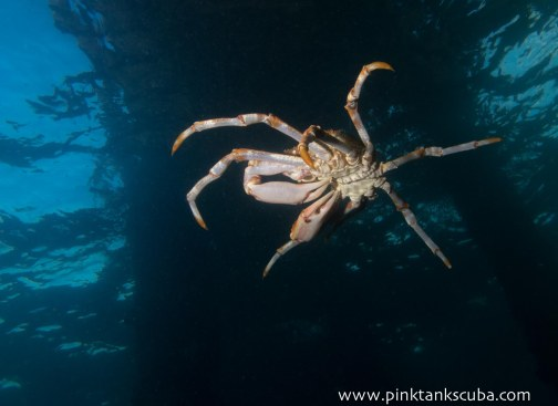 spider crab leaping from pylon