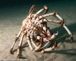 spidercrab carcass
