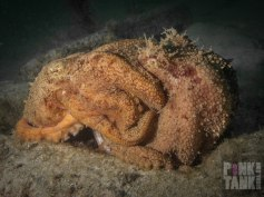 LOGO Octopuses Mating Side On