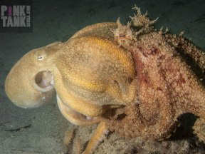 LOGO Octopuses Passionate Mating