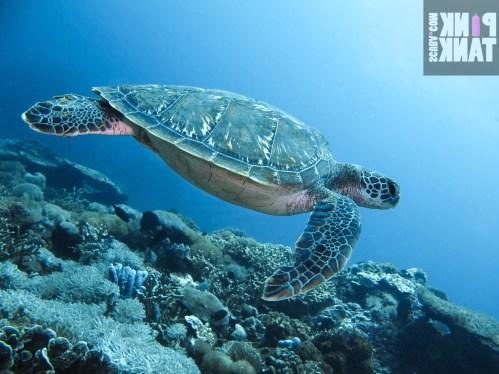 LOGO Turtle Swimming at Bali