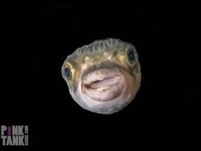 LOGO Cutest Pufferfish Ever