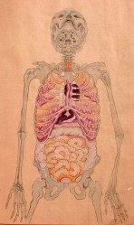 period edo japan anatomy human illustrations anatomical illustration body medical japanese drawing skeleton outline dissection artist organs unknown date 人体