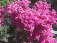 Azaleas - The Georgia State Flower