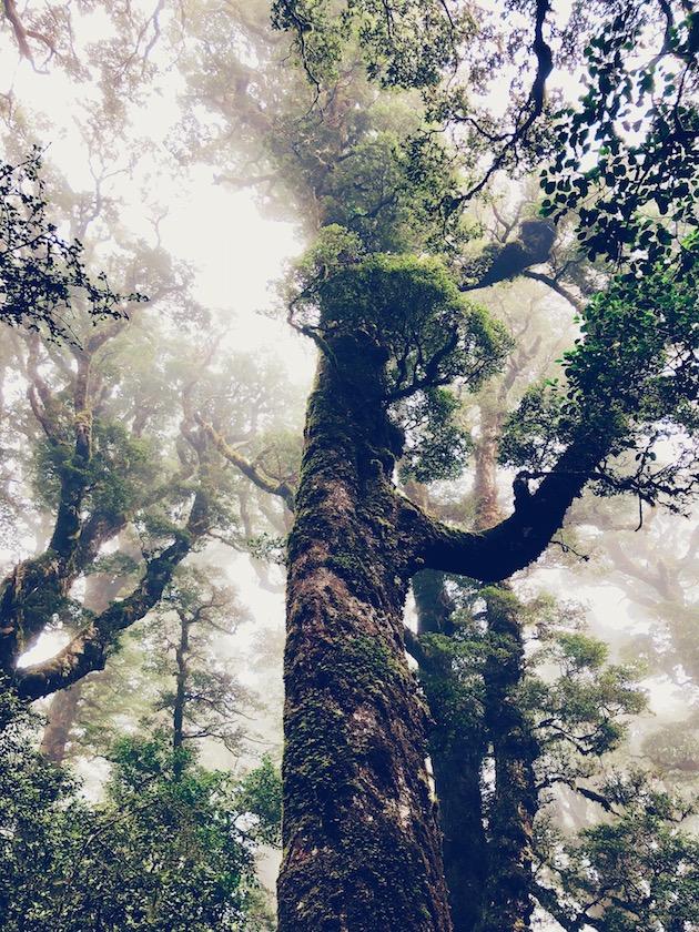Traumhafter Wald im Nebel Neuseeland