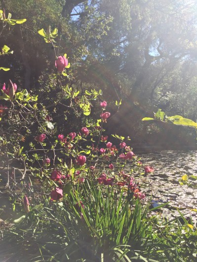 Chinese magnolias at Descanso Gardens
