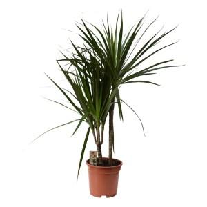 Lule Dracaena marginata 2 plant v.17 h.70 331609