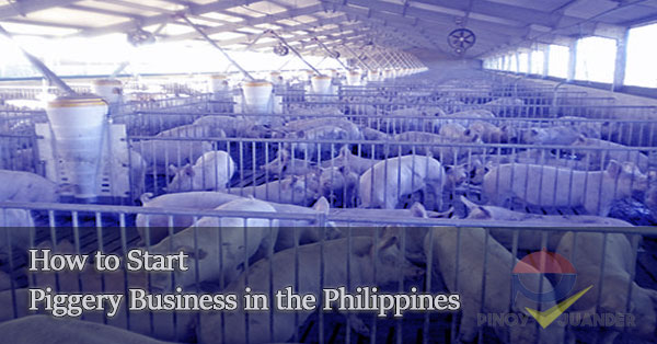 How to Start Your Own Piggery Business  PH Juander