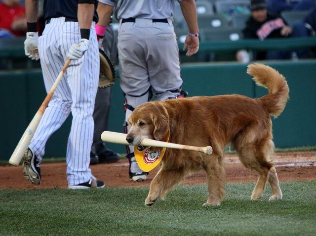 Trenton Thunder bat dog Home Run Derby at worki in the first inning of a game against the Portland Sea Dogs at Arm & Hammer Park in Trenton on Tuesday, April 12, 2016. Photo by Martin Griff