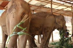 Elephant en Thailande