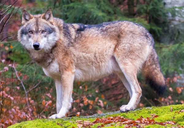 dog domestication: a grey wolf in the Bavarian forest