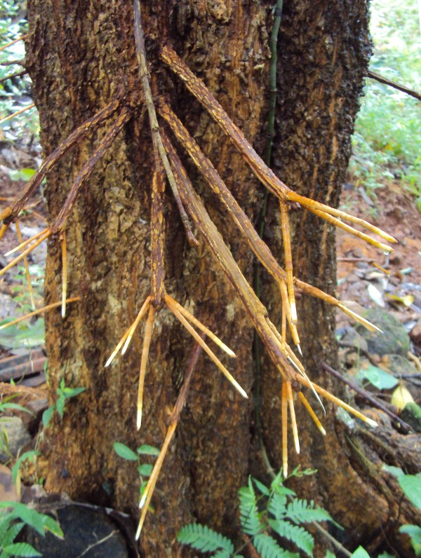 Carallia Brachiata Pinus Jeffreyi