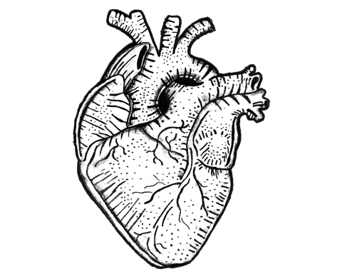 Pencil illustration of an anatomical heart