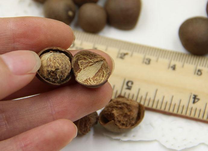 Семенное размножение комнатной камелии позволяет получить взрослое и обильно цветущее растение только через пять-семь лет после посева