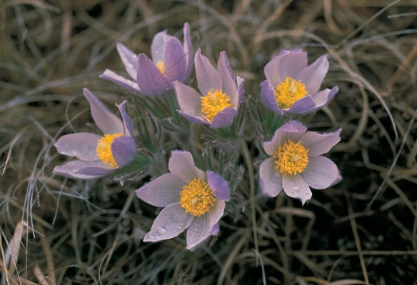 An image of the pasqueflower image found in Dakota Flora. Photograph taken by Jeanne Ode.