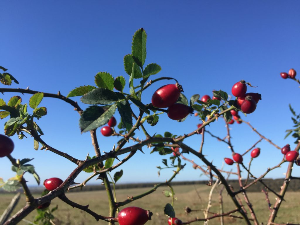 Rose Hips - Foraging - Autumn - Pippin and Gile - Bushcraft