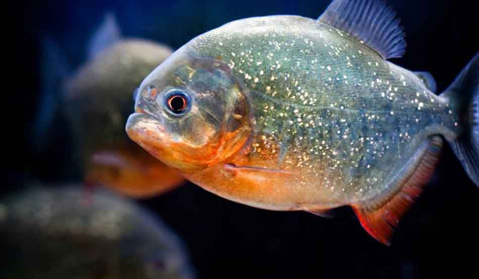 Are Piranhas Reptiles? - Piranha Guide