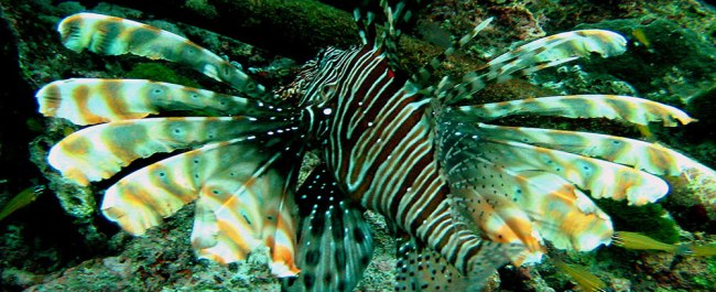 A common lionfish in the Similan Islands