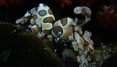 Harlequin Shrimp on Richelieu Rock