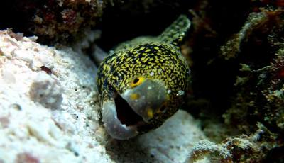 Moray Eel Found on Richelieu Rock
