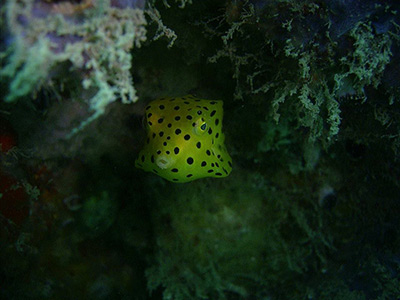 similan-scuba-yellow-boxfish