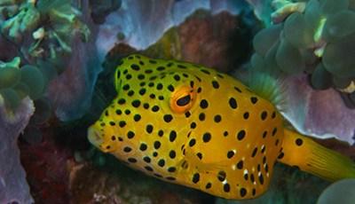 Yellow box Fish in the Similan Islands