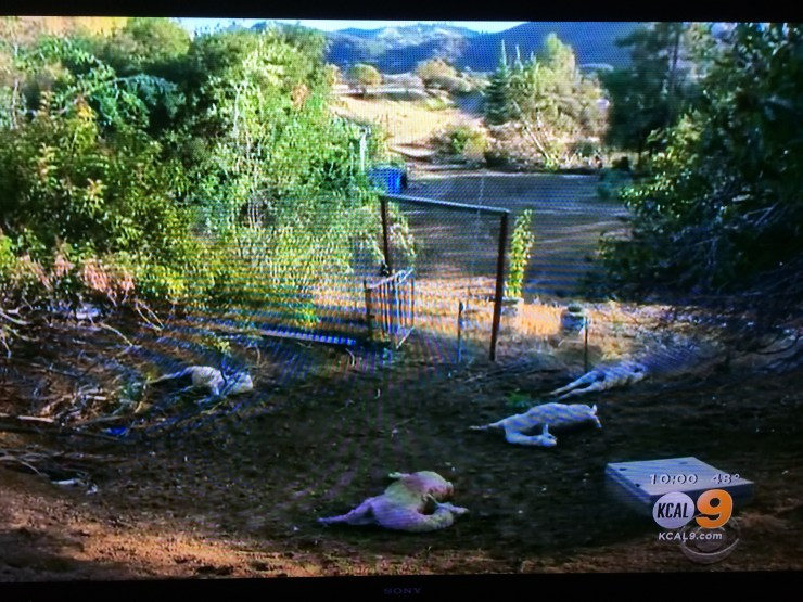 The alpaca kill. Image: KCAL9