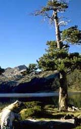 pino negro