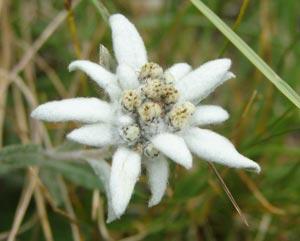 Flor de Nieve en la Faja de las Flores