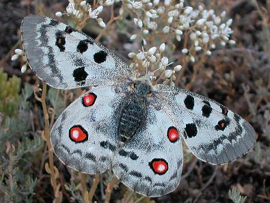 mariposa apolo en ordesa