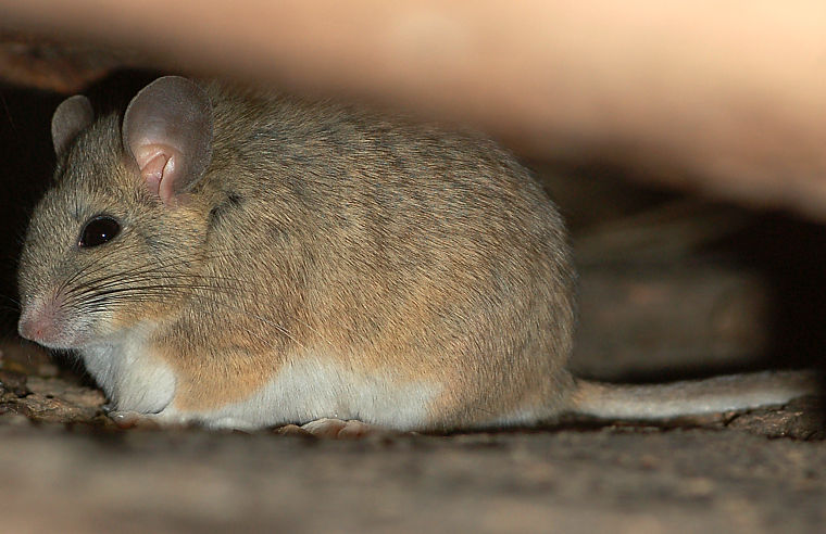 baby kangaroo rat